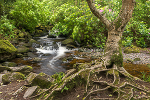 The Old Tree, Torc Falls