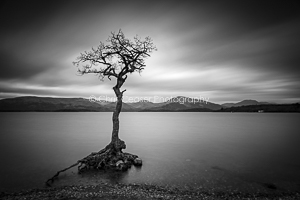 Windswept, Loch Lomond