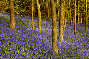Bluebell Wood, North Yorkshire
