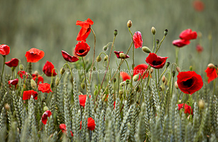 Wheatfields And Poppies