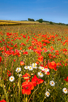 Field Of Poppies, Yorks Wolds