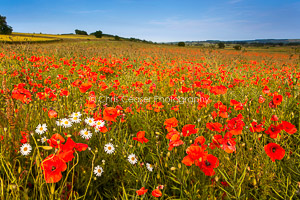 Poppy Fields, Yorkshire Wolds