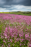 Red Campion, Yorkshire Wolds